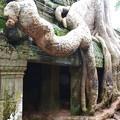 写真: タ・プローム。巨木が生えている