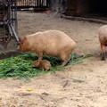 写真: 東山動植物園:生まれたばかりのカピバラの赤ちゃんとその両親 - 7