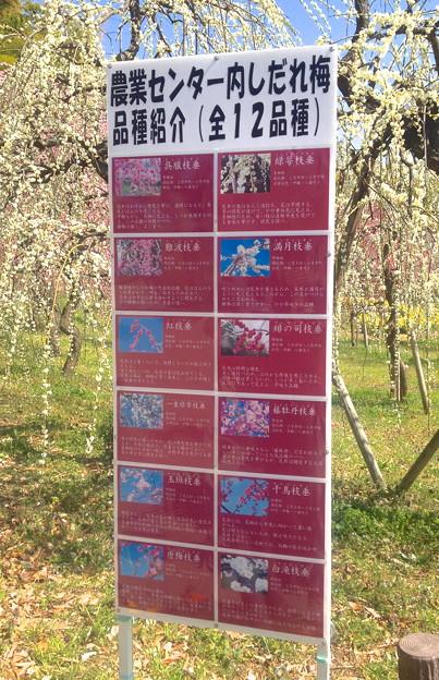 名古屋市農業センター:しだれ梅まつり - 048