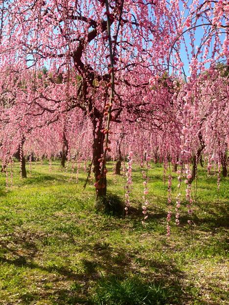 名古屋市農業センター:しだれ梅まつり - 051