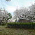 写真: 久屋大通公園の桜 - 01