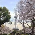 写真: 久屋大通公園の桜 - 05