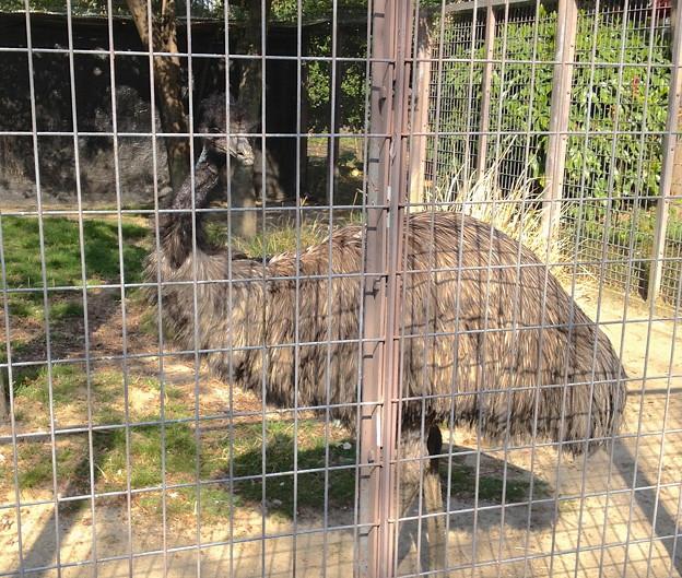 東山動植物園:エミュー - 5