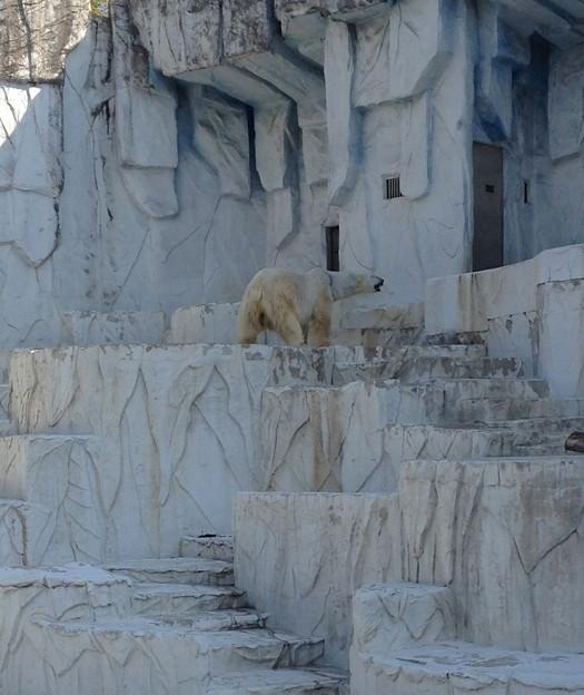 東山動植物園:ホッキョクグマ - 1