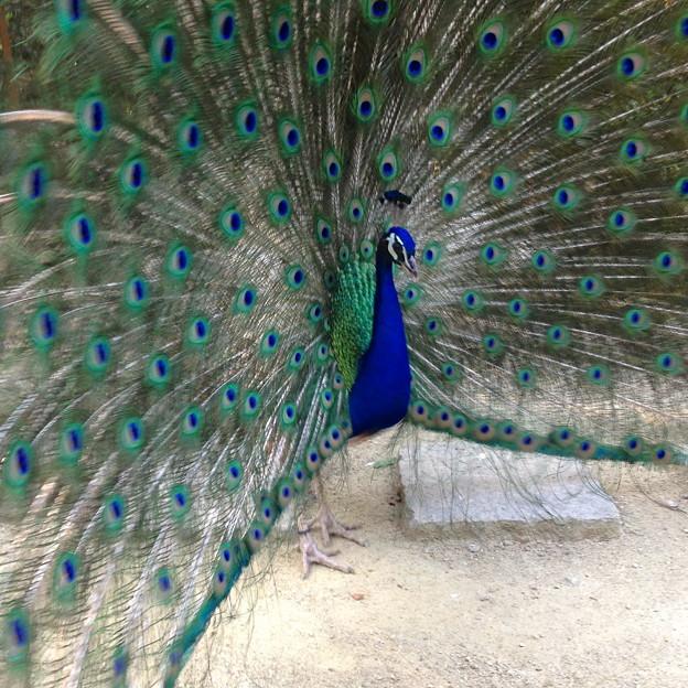 東山動植物園バードホール - 23:求愛するインドクジャクのオス