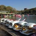 写真: 東山動植物園:上池のスワンボート - 3