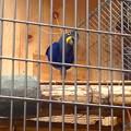 東山動植物園バードホール:スミレコンゴウインコ
