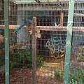 東山動植物園:暑さに負けず元気そうだったアオキコンゴウインコ - 1