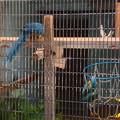 東山動植物園:暑さに負けず元気そうだったアオキコンゴウインコ - 2