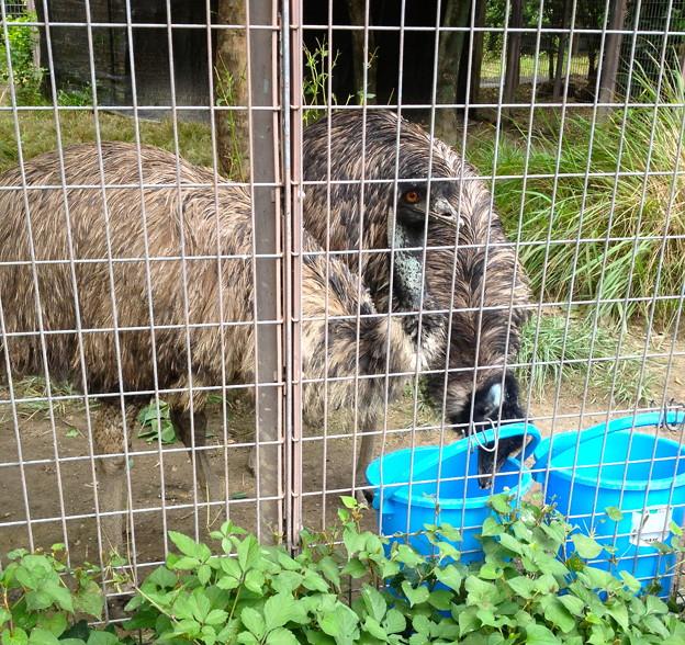 東山動植物園:食事中のエミュー - 1