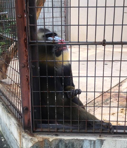 東山動植物園:マンドリル - 1
