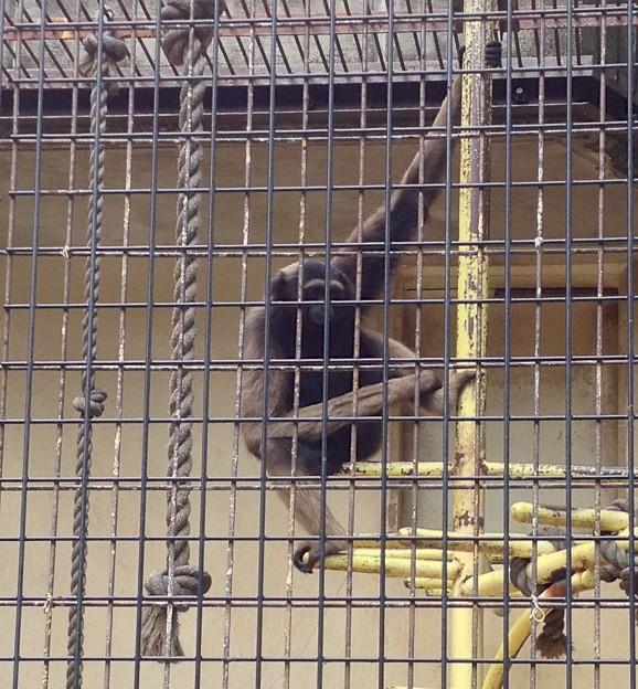 東山動植物園:ボルネオテナガザル - 2