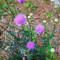 近所で見かけた紫色の丸い変わった花 - 1