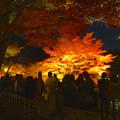 写真: 東山植物園 紅葉ライトアップ 2013 No - 066