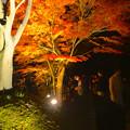 写真: 東山植物園 紅葉ライトアップ 2013 No - 076
