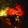 写真: 東山植物園 紅葉ライトアップ 2013 No - 091