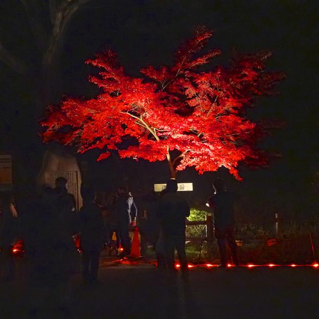 写真: 東山植物園 紅葉ライトアップ 2013 No - 094