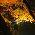 Photos: 東山植物園 紅葉ライトアップ 2013 最終日 No - 13