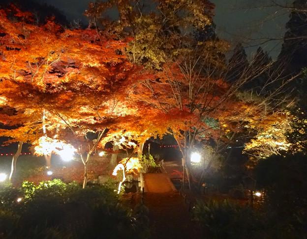 Photos: 東山植物園 紅葉ライトアップ 2013 最終日 No - 17