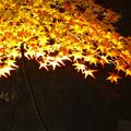 写真: 東山植物園 紅葉ライトアップ 2013 最終日 No - 16