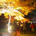 写真: 東山植物園 紅葉ライトアップ 2013 最終日 No - 35