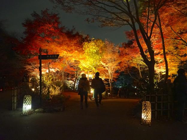 東山植物園 紅葉ライトアップ 2013 最終日 No - 48