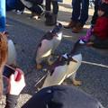 写真: 名古屋港水族館ペンギンよちよちウォーク 2013年12月 No - 07