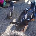 写真: 名古屋港水族館ペンギンよちよちウォーク 2013年12月 No - 15