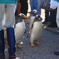 写真: 名古屋港水族館ペンギンよちよちウォーク 2013年12月 No - 16
