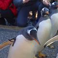 写真: 名古屋港水族館ペンギンよちよちウォーク 2013年12月 No - 19