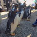 写真: 名古屋港水族館ペンギンよちよちウォーク 2013年12月 No - 27