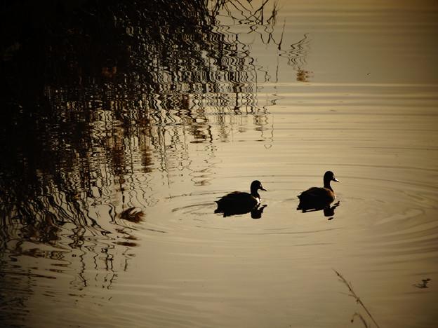 川を泳ぐカモの夫婦のシルエット - 1