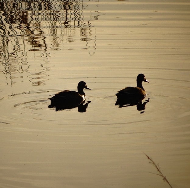 川を泳ぐカモの夫婦のシルエット - 3