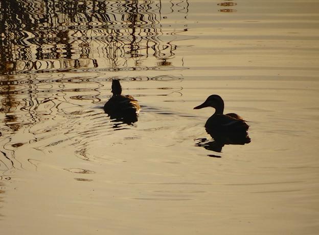 川を泳ぐカモの夫婦のシルエット - 4
