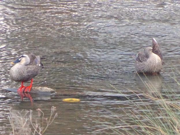 冷たい水の流れる川の上で寛ぐカモ - 1