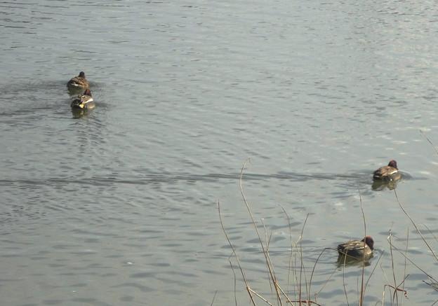 カモが泳いでできた、水面の波紋 - 3