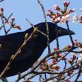 東山動植物園の動物たち No - 16:桜の木にいたカラス
