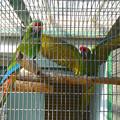 東山動植物園の動物たち No - 38:ケンカ?それともメスへのアピール?…をしてた、ミドリコンゴウインコ