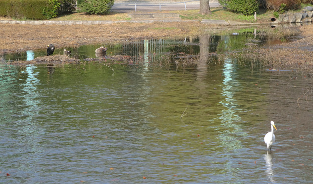 東山動植物園の動物たち No - 47:ボート池にいた川鵜(カワウ)とアイカモとシラサギ