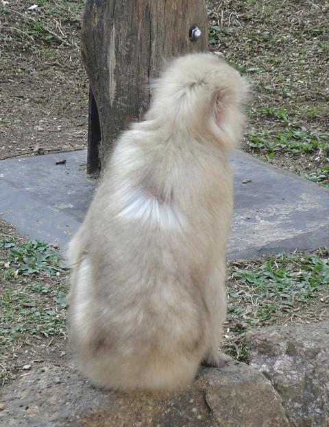 東山動植物園の動物たち No - 59:一匹だけ白子(アルビノ)?のニホンザルが!