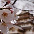 Photos: お城とさくら2