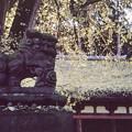 Photos: 新宮熊野神社狛犬 -吽-
