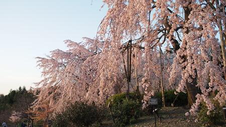 枝垂れ桜も夕日に染まります