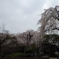 Photos: '13年川越中院お彼岸の桜 (2)