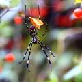 Photos: 晩秋の女郎蜘蛛