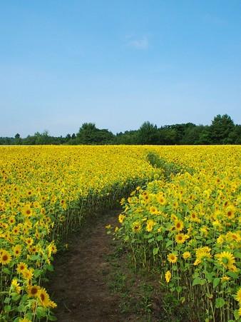 101万本の向日葵畑2