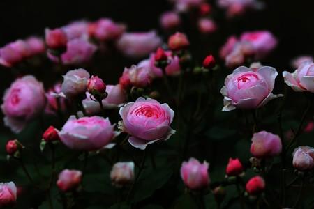 薔薇園22