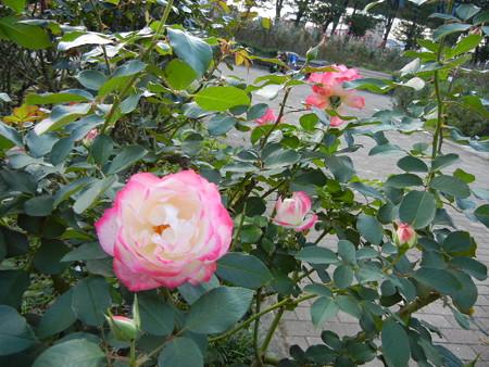 与野公園のバラ (42)