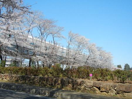 与野公園の桜 (2)
