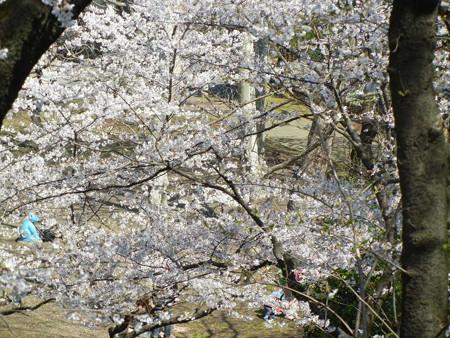 与野公園の桜 (10)